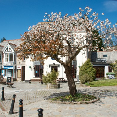 Tree in bloom Camelford Town centre